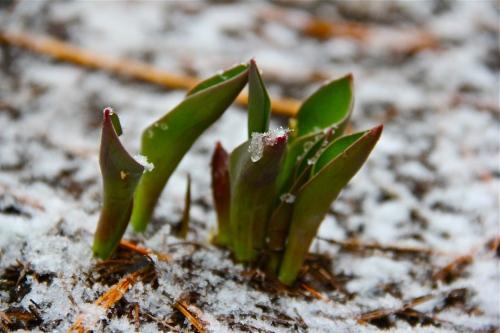 April Snow Makes Tulips Grow