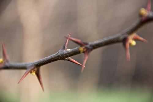 thorn2