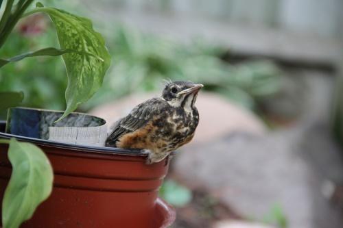 robin little